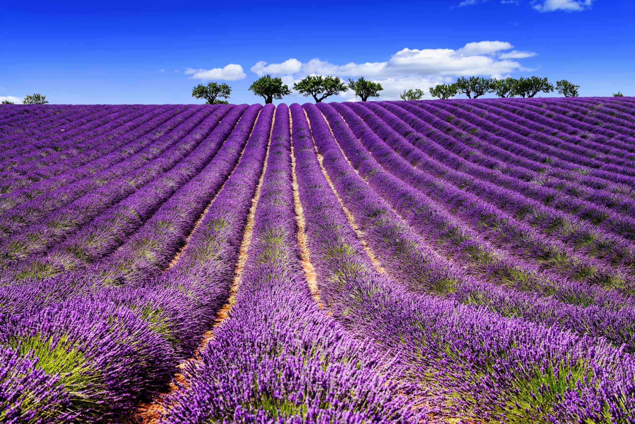 visite champ de lavende vtc